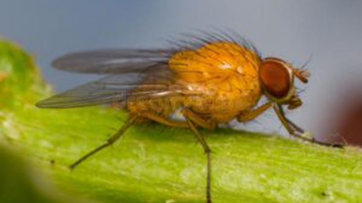 The fruit fly in the sight of scientists